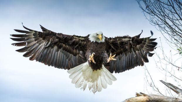 Als Wappenvogel der USA strahlt der Weißkopfseeadler Eleganz und Erhabenheit...