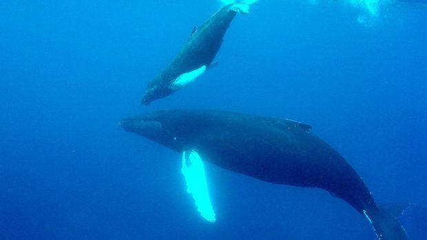 Tauchabenteuer mit Walen - Tauchabenteuer mit Walen - ProSieben MAXX