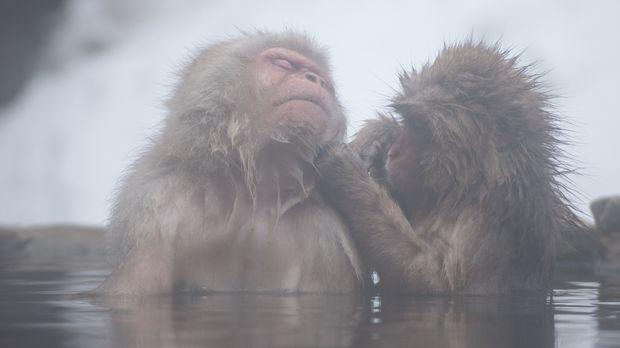 Wild Japan - Die in den Bergen von Honshu beheimateten Schneeaffen können sel...