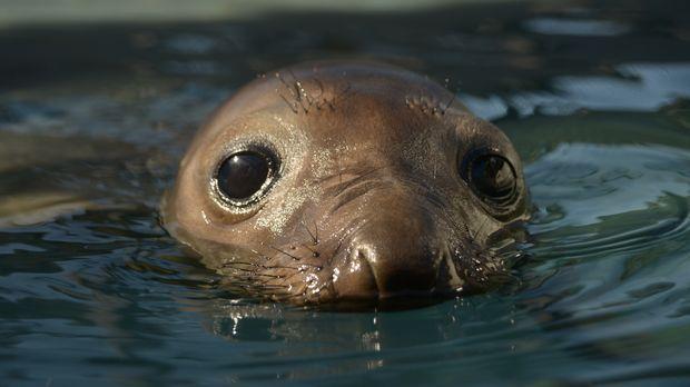 Das Forschungsteam des Marine Mammal Center in Kalifornien kümmert sich rühre...