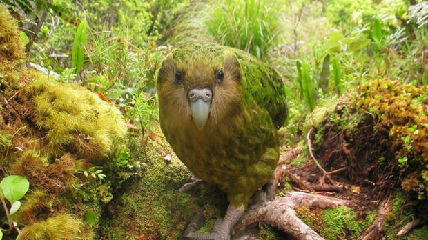 Ein Papagei, der nicht fliegen kann: Der Kakapo ist so schwer, dass er nicht...