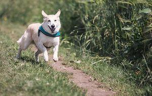 rennender-Hund