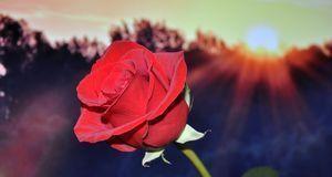 Deko & Basteln_2015_09_28_Rosen trocknen_Bild2_pixabay