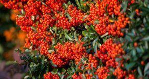 Gartengestaltung_2016_05_10_Feuerdorn_Bild 2_pixabay