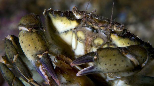 Sie sehen manchmal aus wie Außerirdische - und tatsächlich verfügen Kraken zu...