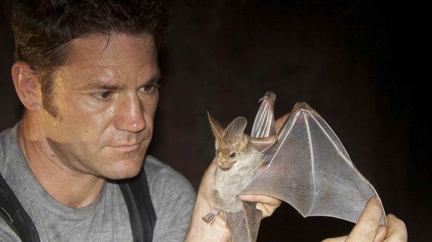 Steve Backshall präsentiert eine der größten Fledermäuse der Welt, die austra...