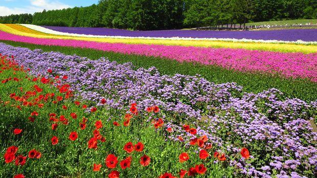 Ein beliebtes Reiseziel vieler Touristen sind die vielen blühenden Blumenfeld...
