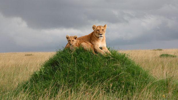 Löwenjunges Moja und seine Mutter Nyota sind im Masai Mara zuhause, einem Nat...
