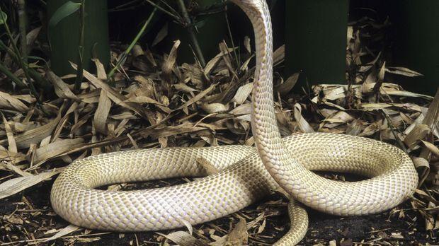 Kobras sind sehr gefährliche Tiere, auch die von Ed Cassano ... © Ed Cassano...
