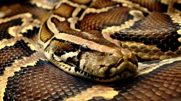 Gefährliche Schlangen üben auf viele Menschen eine fatale Faszination aus. So...