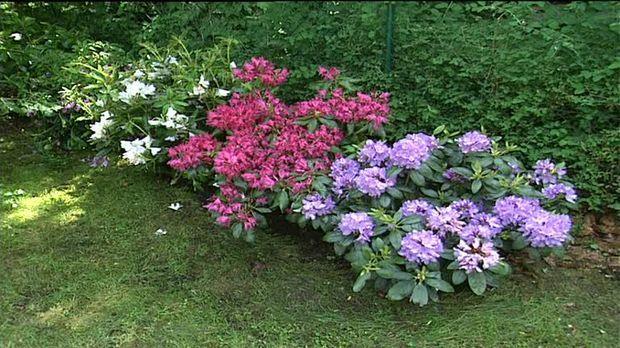 ratgeber video rhododendron pflanzen und pflegen sat 1. Black Bedroom Furniture Sets. Home Design Ideas