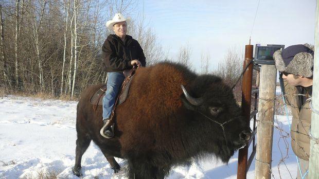 Weil Jim Sautner (l.) seinen scheinbar gemütlichen Büffel unterschätze, brach...