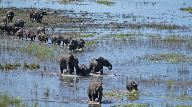 Die Flut kommt: Elefanten und Büffel bahnen sich einen Weg durch die überflut...
