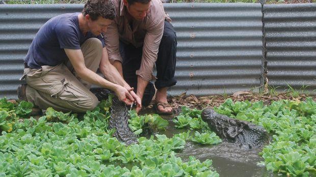 Steve Backshall (r.) geht direkt in ein Nest großer Salzwasser-Krokodile ......