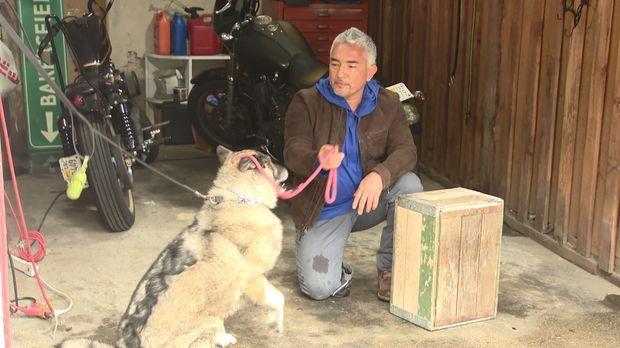Zwei Freunde von Cesar (Bild) bitten ihn um Hilfe: Ihr Hund Amigo macht Besuc...