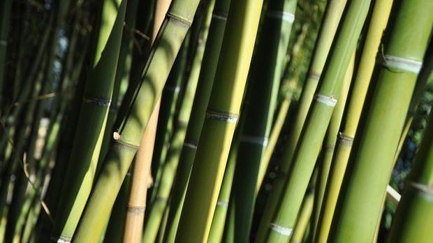 Bambushecke